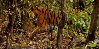 tigre reserve inde madhya pradesh