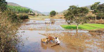 paysan riziere odisha