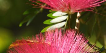 fleur thailande